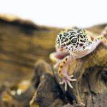 ヒョウモントカゲモドキを飼育する際の、ケージ内の温度設定は?