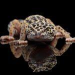 ヒョウモントカゲモドキの人気品種!スーパーマックスノーの繁殖に注目!