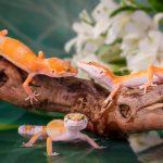 ヒョウモントカゲモドキの遺伝と繁殖