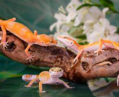 ヒョウモントカゲモドキ 繁殖 遺伝